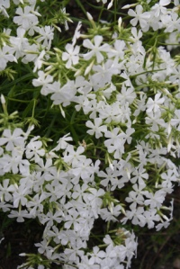 Phlox_pilosa_Forest_Frost