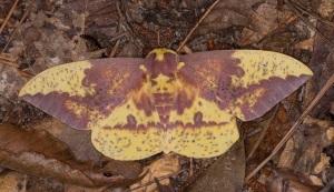 7704+imperial+moth04