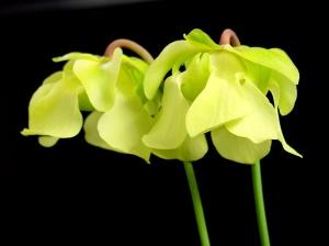 Sarracenia_alata_flowers