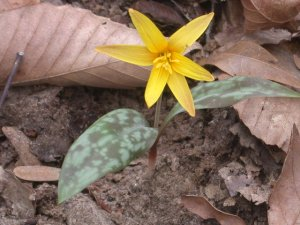yellow dogtooth violet