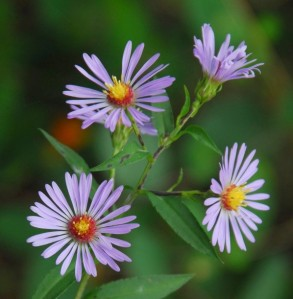 Aster_curtisii_blooms_resized