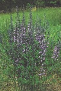 Baptisia-Purple-Smoke.i-2190.s-9649