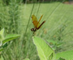 eastern-amberwing-crop