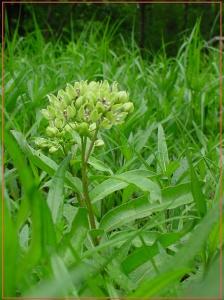 green milkweed2