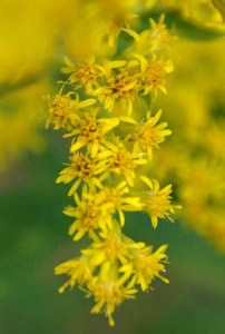 sweet_goldenrod_close_sized